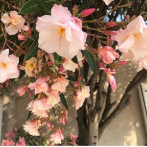 Laurier rose - Domaine de Marchandise